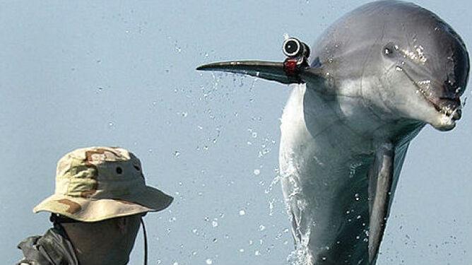 Delfiny-saperzy służyły pół wieku. Zostaną zastąpione przez roboty