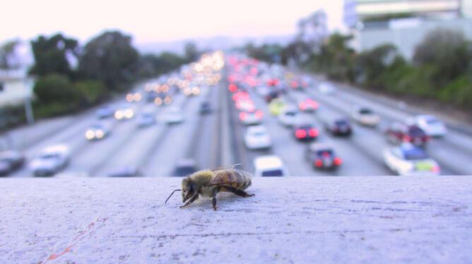 Najlepszy miód produkują miejskie pszczoły
